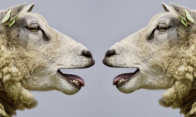 dvě ovce