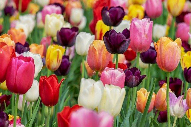 záhon tulipánů.jpg